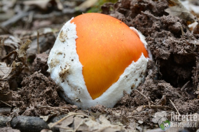 10 varietà di funghi: gli ovoli
